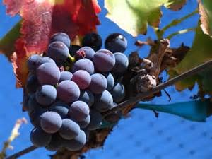 Wine Grapes – An Essential Element In Wine Making