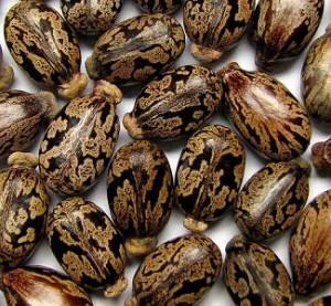 castor-beans-300x277