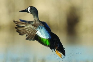 Top Tips On Hunting Ducks