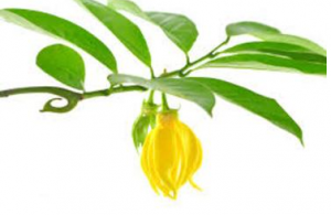 Wholesale Buying Of The Medicines Of Nature: Essential Oils
