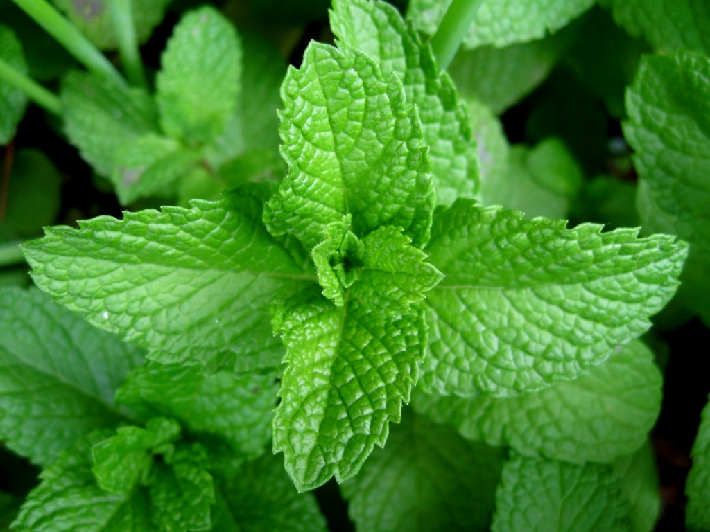 5 Popular Uses and Benefits Of Peppermint Oil
