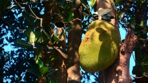 Tropical Fruits In Your Garden Exotic Trees To Grow At Home